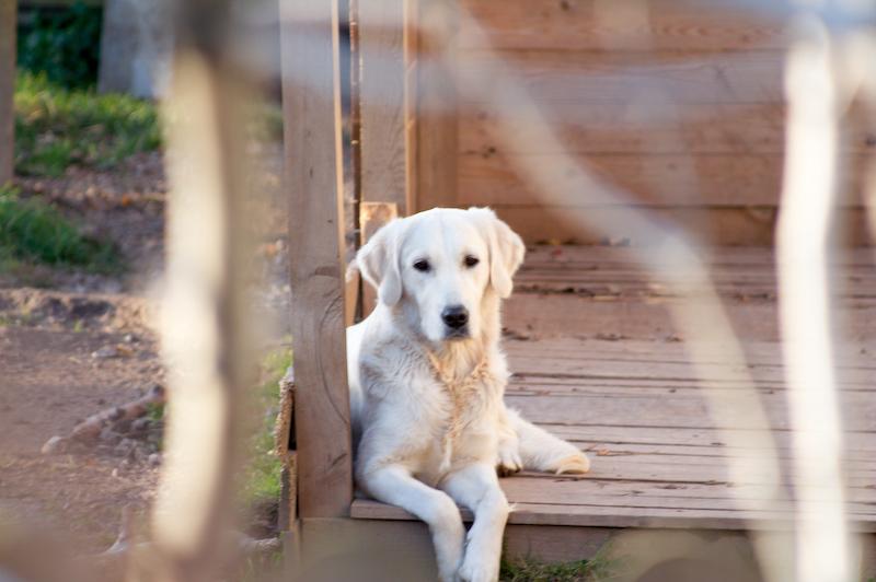 Hunde von Wikkegaard sind für einen Einsatz in Pädagogik und Theapie vorbereitet. Foto: Hinnerk Weiler