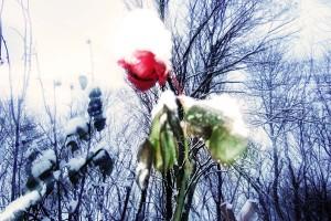"""Die hier so tapfer durchhaltende Rose hat dann doch """"aufgeben"""" müssen, dafür haben sich Schneeglöckchen und Märzbecher weit vorgewagt und zeigen Blüten und Knospen."""