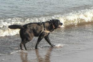 Abkühlung für die Hunde in der Nordsee direkt vor dem Seminarraum