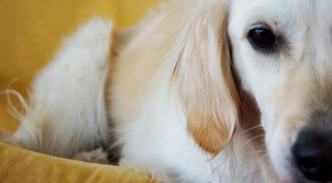 Der Einsatz eines Therapiehundes in der tiefenpsychologischen Kinderpsychotherapie