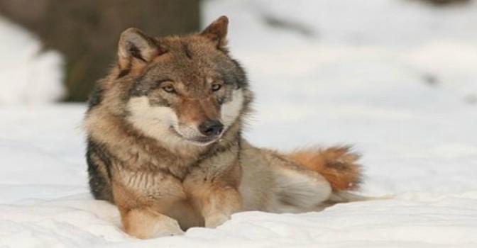 Wer ist toleranter: Wolf oder Hund?